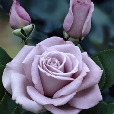 Monroe House by Waltz Time Hybrid Tea Rose Bare Root Rose
