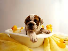 dogs in a bathtub bath tips how to bathe a bathing a ideas