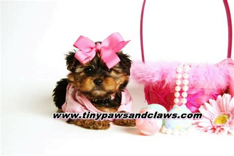 teacup yorkies for sale in houston akc yorkie puppies for sale for sale in houston pets of breeds picture