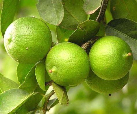 Madurasa Jeruk Nipis 2 Pcs tanaman jeruk nipis