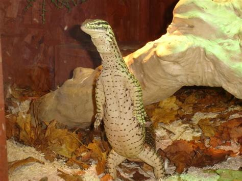 how to your to stand on hind legs the lizard that stands on two argus monitor