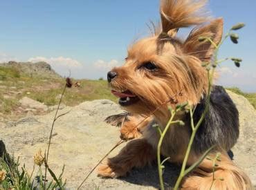 want to breed my yorkie all about the yorkies we yorkie