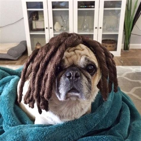 pug with wig 17 best images about dogs pugs in wigs on bobs curls and the