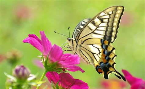 wallpaper flower butterfly pictures of butterflies and flowers flower butterfly