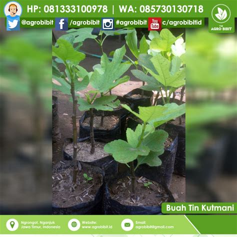 Jual Bibit Pohon Buah Tin Indonesia jual bibit buah tin khurtmani agro bibit id