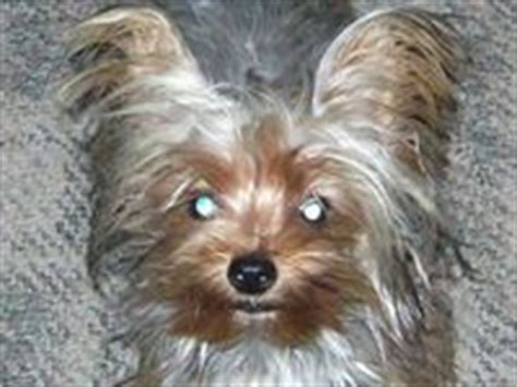 blue gold yorkie 17 best images about blue and gold yorkie puppies on hair other and i