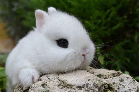 alimentazione conigli nani nano colorato hotot la stalla dei conigli allevamento e
