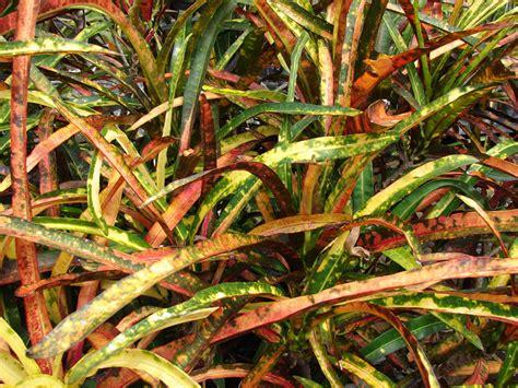 plants flowers codiaeum variegatum