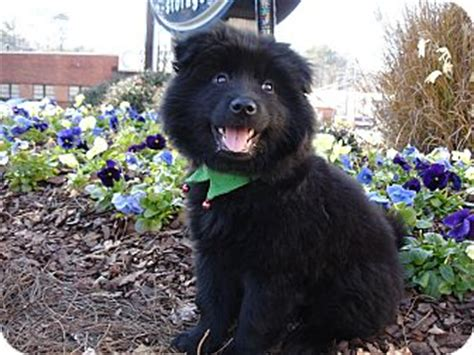 pomeranian mixed with chow asher adopted puppy tucker ga pomeranian chow chow mix