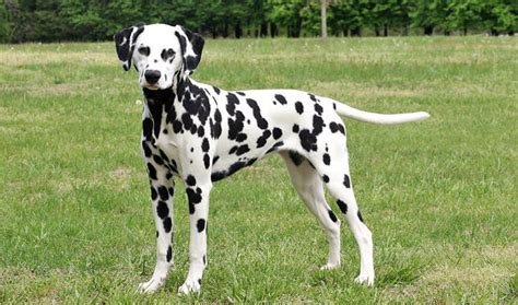 dalmatian dogs dalmatian breed information