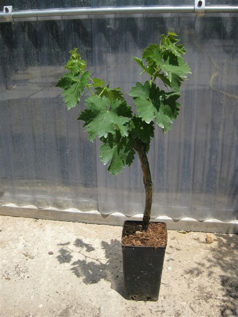 pianta di vite in vaso uva da tavola viti innestate in vaso 10