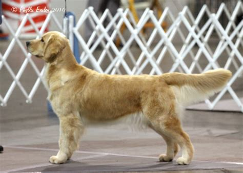 gemini golden retrievers puppy logan from gemini golden retrievers of rockledge florida