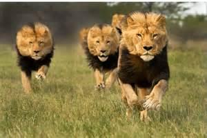 imagenes de leones feroces el fauno y basajaun