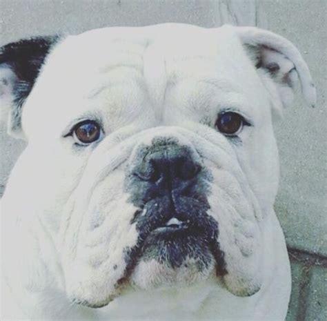 mastidoodle puppies for sale bulldog mastiff breeds picture