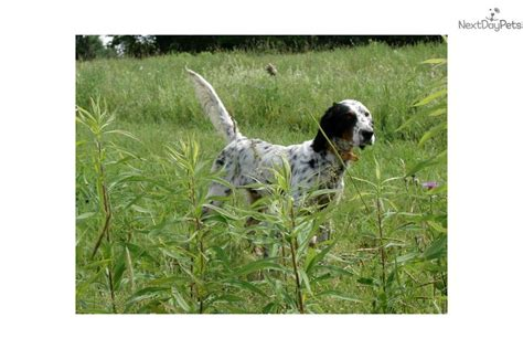 english setter grouse dogs for sale jj english setter puppy for sale near vermont d4c38c68 7811