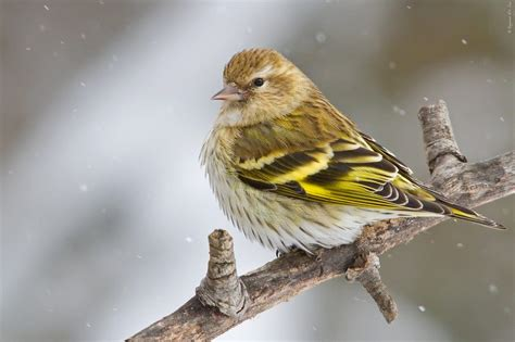 pine siskin celebrate urban birds
