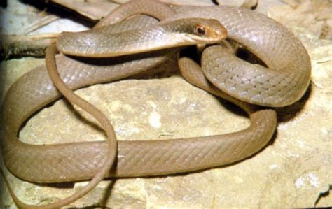 Light Brown Snake by Nc Snake Pictures