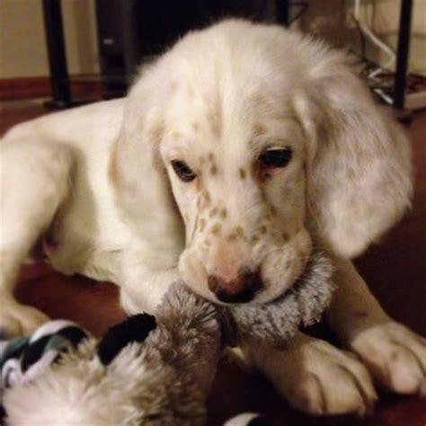 setter dog baby gunster the english setter dogs pinterest english