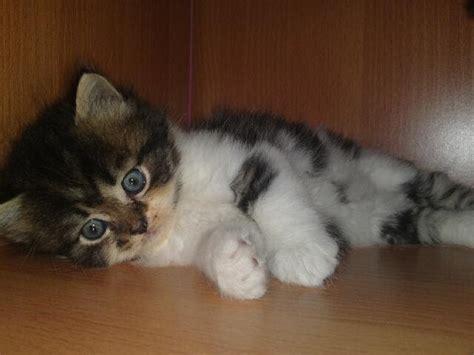 Jual Kursi Roda Untuk Kucing rafiqa nabeela anak kucing parsi untuk di jual