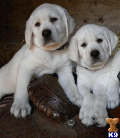 labrador puppies california document moved