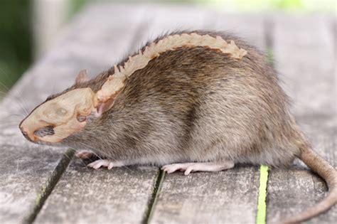 what is a rug rat allesoverratten nl de rug de tamme rat