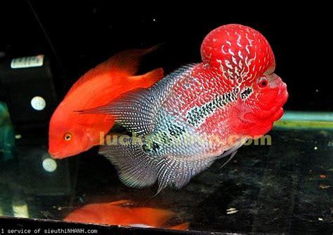 Pakan Ikan Louhan Paling Bagus kumara tips merawat dan memilih ikan louhan yang bagus