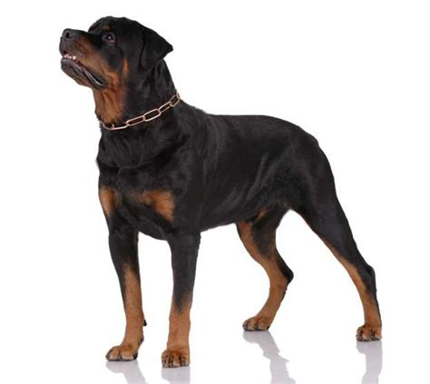 rottweiler guard breeds best guard dogs excellent for protection