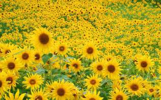 sunflower field iphone wallpaper images