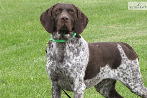 german shorthaired pointer puppies for sale near me german shorthaired pointer puppy pictures for sale breeds picture