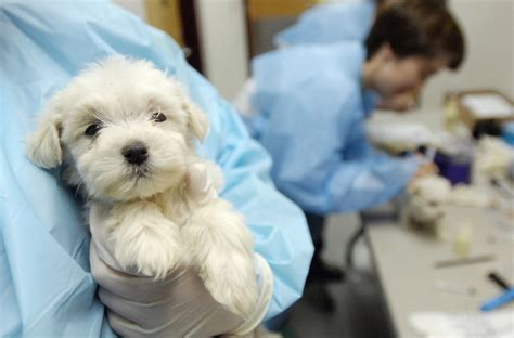7 week puppy care portland is one step closer to banning sales of pets from puppy mills portland press