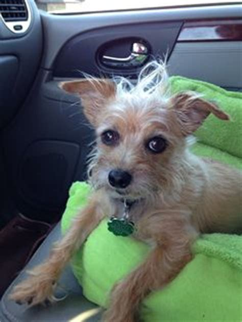 chorkie grooming 1000 images about romy on pinterest puppys yorkie and