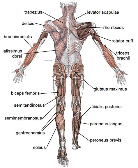 muscles diagram muscular system diagram labeled and unlabeled quotes