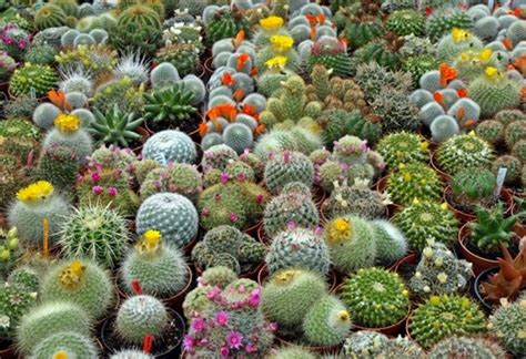 budidaya tanaman kaktus hias  mudah flora