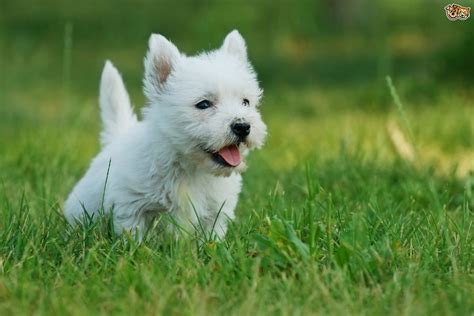 westie breed west highland terrier longevity and hereditary health pets4homes