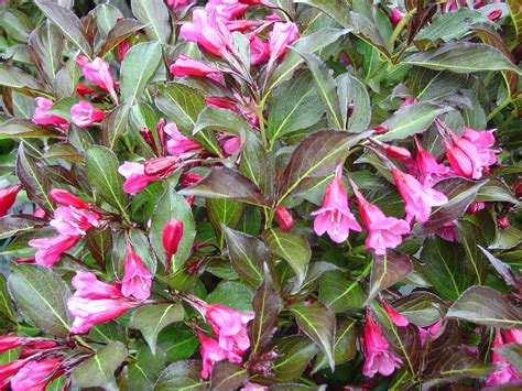 shrub with pink flowers summer flower summer flowering shrubs