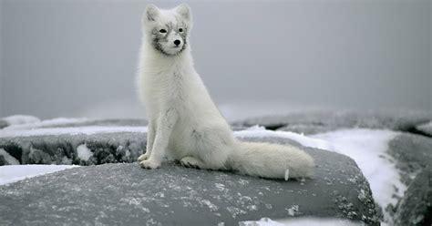 wallpaper   beautiful arctic fox hd animals wallpapers