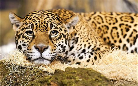 jaguar images hd jaguar animal wallpapers jaguar pictures images 1080p