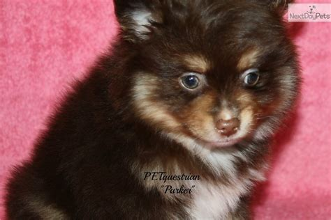 chocolate pomeranian for sale meet a pomeranian puppy for sale for 550 chocolate with points nd