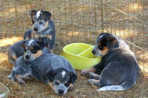 and blue heeler puppies for sale blue heeler puppies for sale blue heeler breeders bertonqh