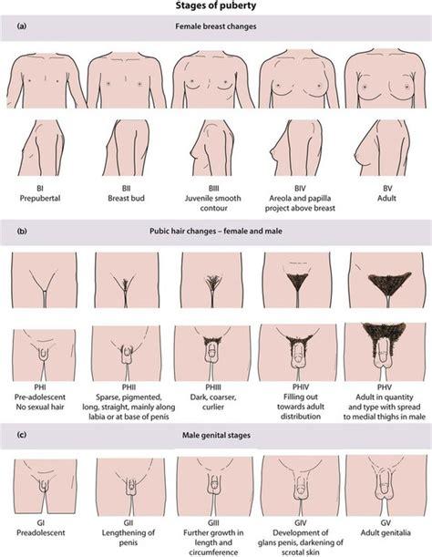 male stage tanner scale puberty chart file pubertal human development chart jpg