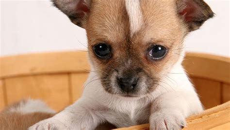 how many puppies does a chihuahua pets and animals archives dinzie