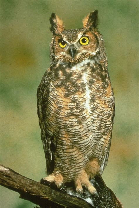 owl bird information animals blog