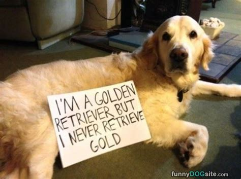 golden retriever humor golden retriever funnydogsite