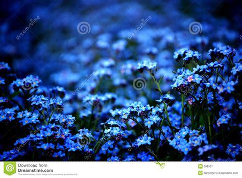 Blume Vergiss Mein Nicht 3822 by Vergissmeinnicht Lizenzfreie Stockfotografie Bild 709557