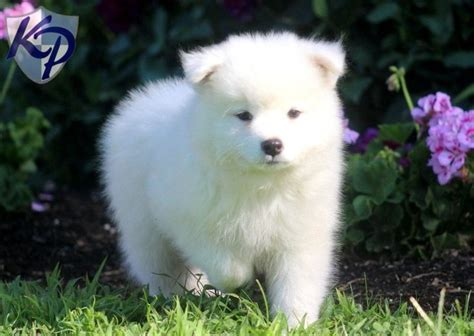 samoyed puppies for sale in nc 25 ide terbaik tentang samoyed puppies for sale di