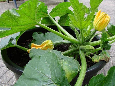 len essen courgette kweken in pot potplanten buiten schaduw