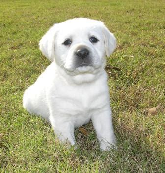white labrador retriever puppies pictures of white labradors pictures of white labs pictures of white labrador