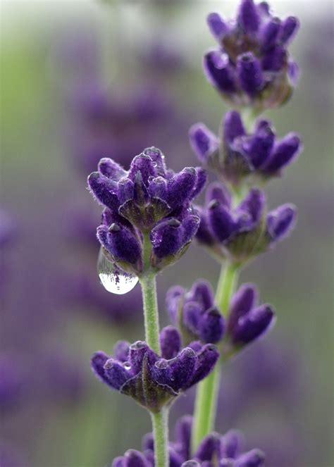 wholesale lavender archives victor s lavender sequim washington victor s lavender sequim