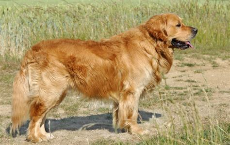 caring for golden retriever golden retriever breed information buying advice photos and facts pets4homes
