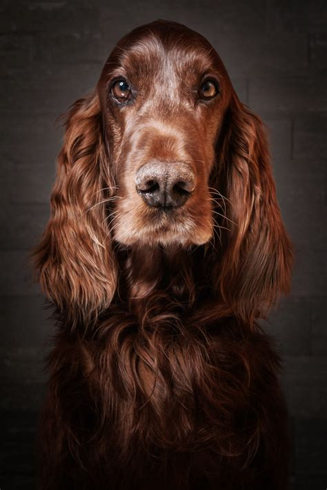 setter dog traits irish setter dog breed information pictures
